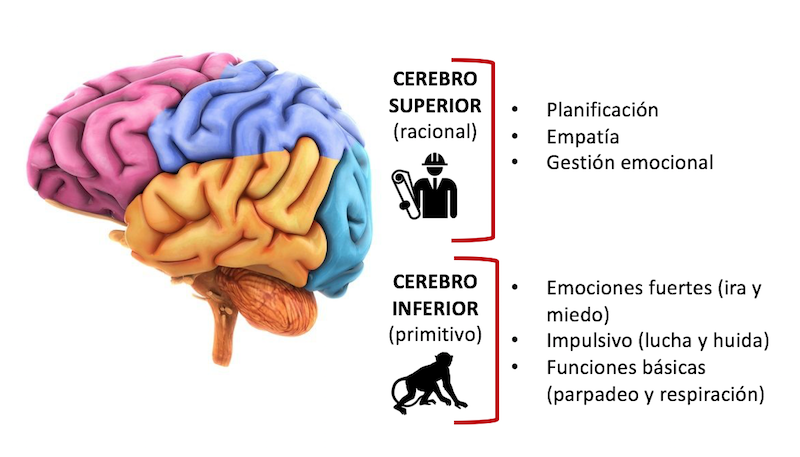 el cerebro del niño - superior-inferior3