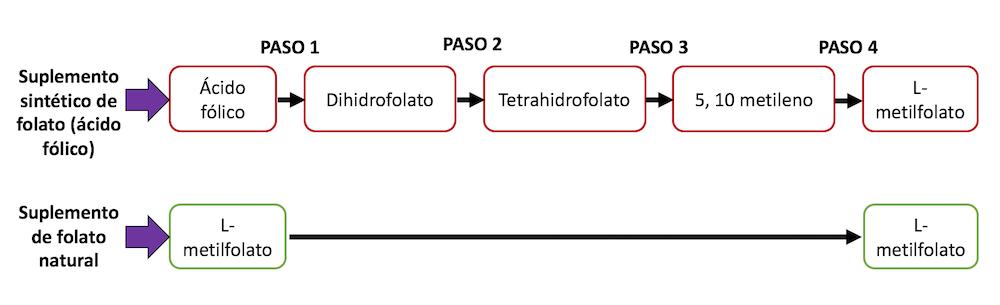 acido folico y folato pasos