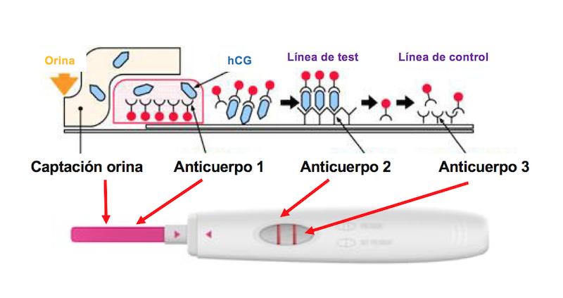 como funciona un test de embarazo